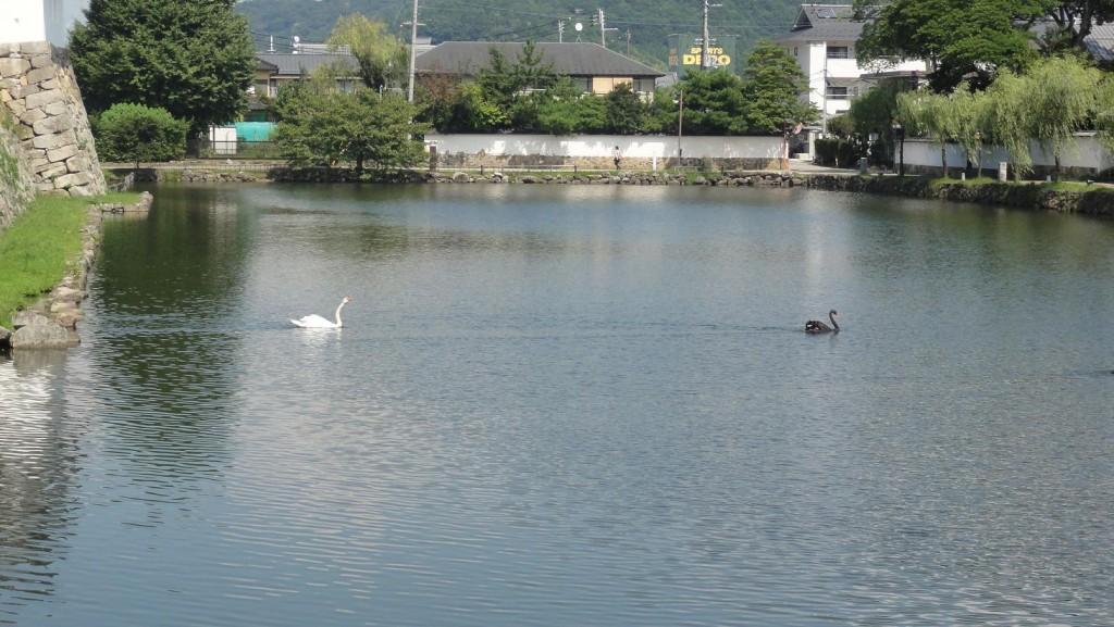 Hikone Swans