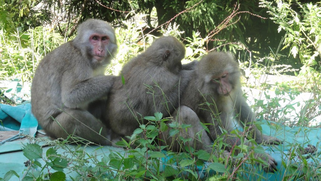 Jigokudani Monkeys Picking Fleas