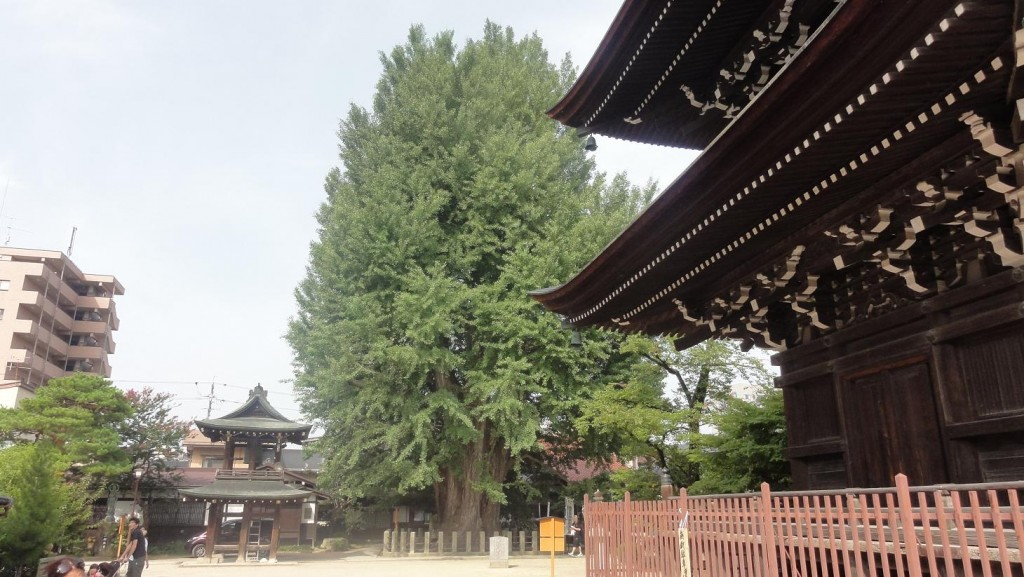 Takayama Giant Ginkgo Tree