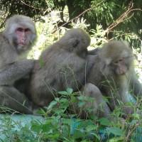 Jigokudani Monkeys Picking Fleas